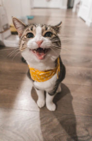 An excited cat wearing a yellow scarf