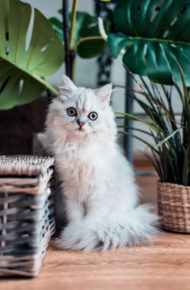 White kitten sitting in between two large plants